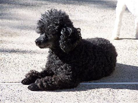 black toy poodle full grown - Google Search …   Teacup