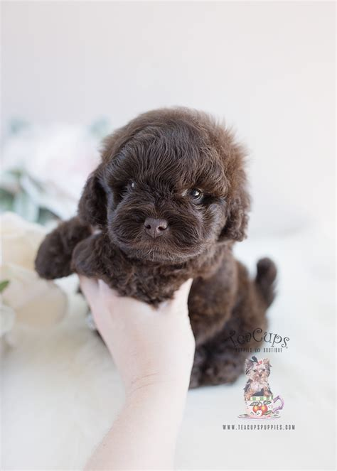 Shih Poo Puppy #135   Teacups, Puppies & Boutique