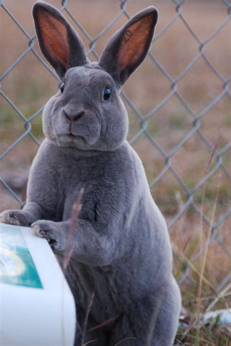 Pretty Bunny (With images) | Giant rabbit, Flemish giant