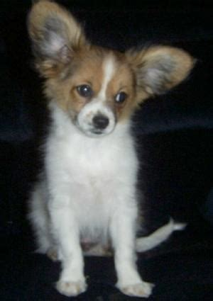 Cute Puppy Dogs: Papillon puppies