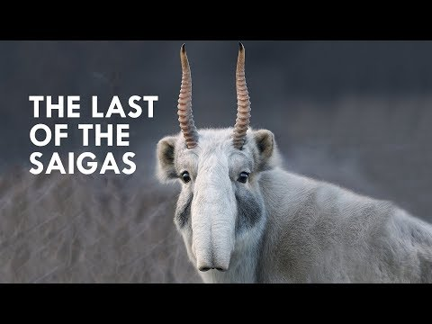 Huge protected area for the endangered Saiga Antilope