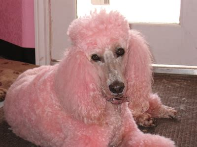 Cute Dogs: Pink Poodle Dog